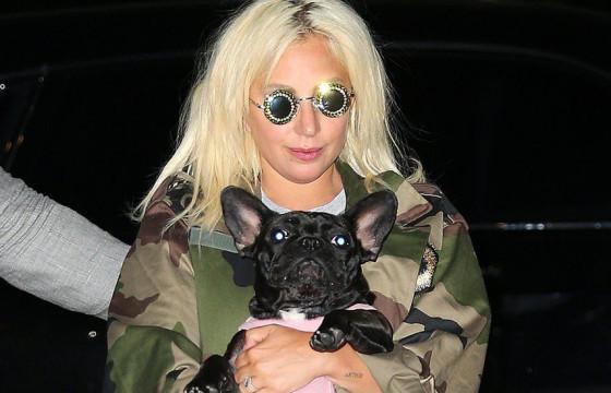 Лэди Гагагийн нохой салхилуулагчийг буудаж, франц бульдогийг нь хулгайлжээ